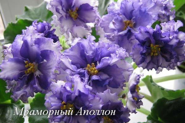 Фиалка Мраморный Аполлон (Е.В.Коршунова) фото