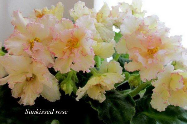 ФиалкаSunkissed Rose (LLG/D.Herringshaw) фото