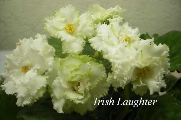Фиалка фиалка Irish Laughter фото
