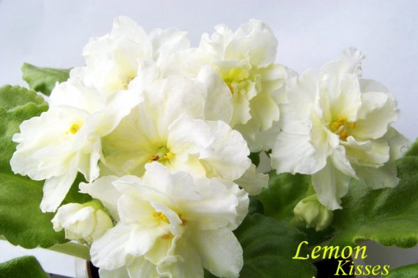 Фиалка Lemon Kisses (S. Sorano), фото
