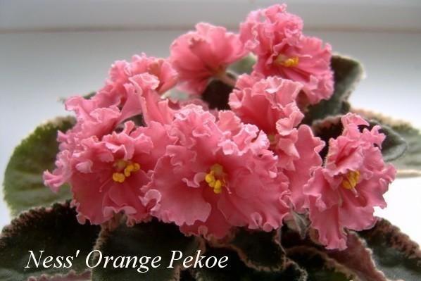 Фиалка Ness' Orange Pekoe (D. Ness) фото