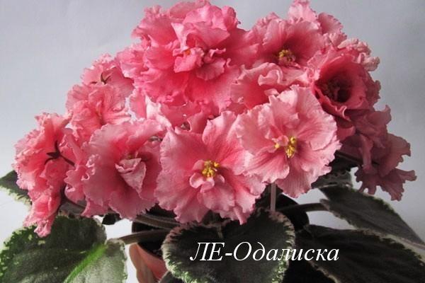 ЛЕ Одалиска1 Готовим фиалки к выставке или как вырастить цветущие фиалки к празднику.