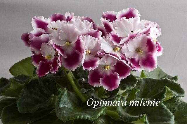 Optimara milenie1 Готовим фиалки к выставке или как вырастить цветущие фиалки к празднику.