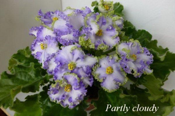Фиалка Partly Cloudy (G.Bonne) фото