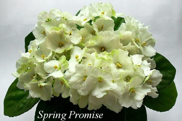 Фиалка Spring Promise