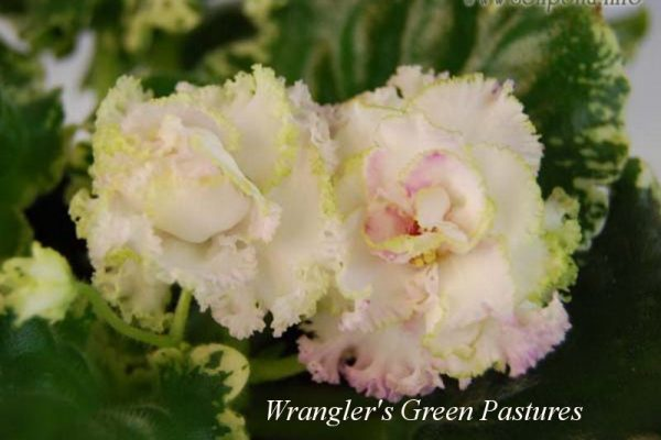 Фиалка Wrangler's Green Pastures (W. Smith) фото