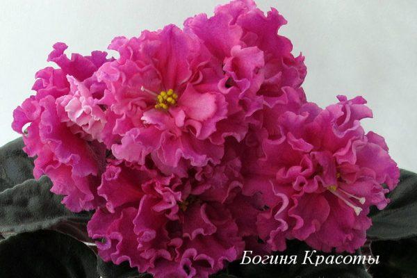 Фиалка Богиня Красоты (Е.Коршунова) фото