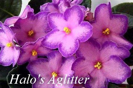Фиалка Halo's Aglitter (S.Sorano) фото