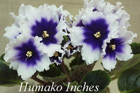 Фиалка Humako Inches (Humako) фото