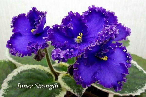 Фиалка Inner Strength (P. Sorano/LLG) фото
