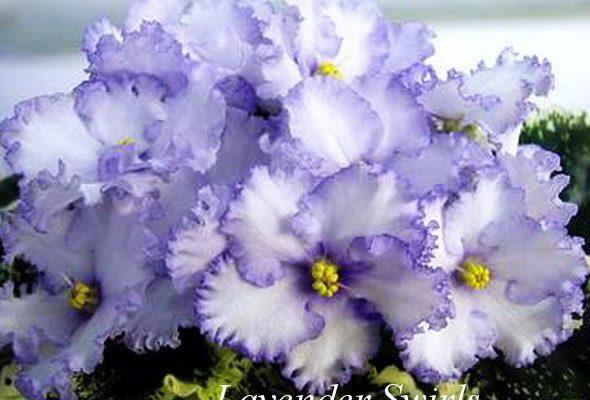 Фиалка Lavender Swirls (S.Sorano) фото