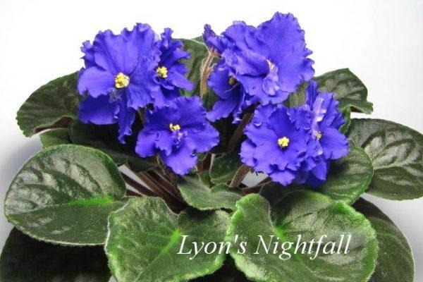 Фиалка Lyon's Nightfall (S. Sorano) фото