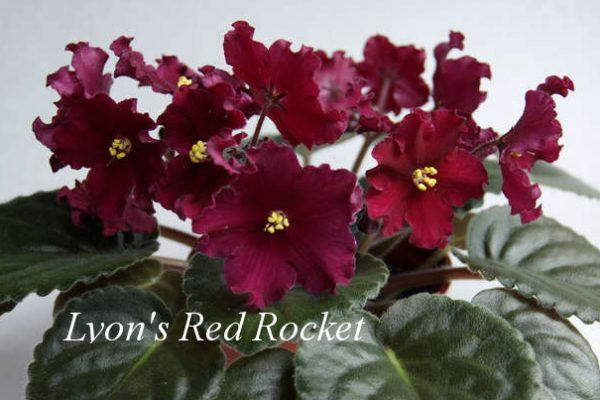 Фиалка Lyon's Red Rocket (P. Sorano/LLG) фото