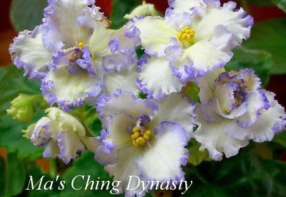 Фиалка Ma's Ching Dynasty (O.Robinson) фото
