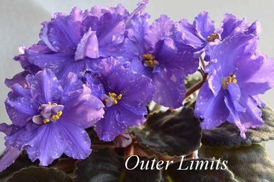 Фиалка Сенполия Outer Limits (LLG/D. Herringshaw) фото