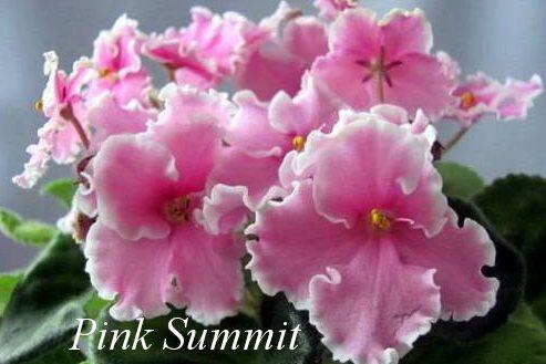 Фиалка Pink Summit (LLG Sorano) фото