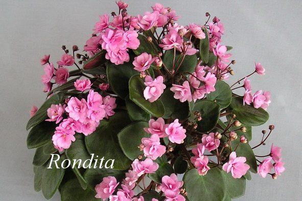 Фиалка Rondita фото