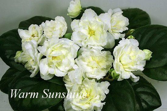 Фиалка Warm Sunshine (LLG/P. Sorano) фото