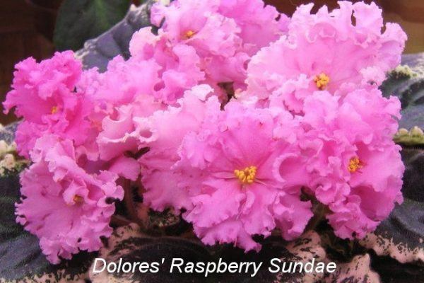 Фиалка Dolores' Raspberry Sundae (D. Harrington) фото
