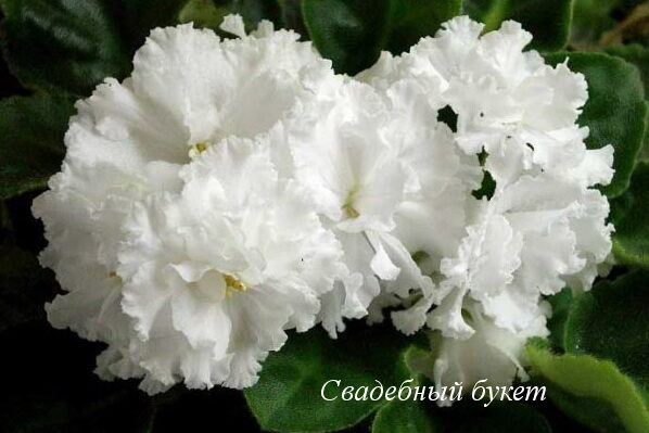 Фиалка Свадебный Букет (К.Морев) фото