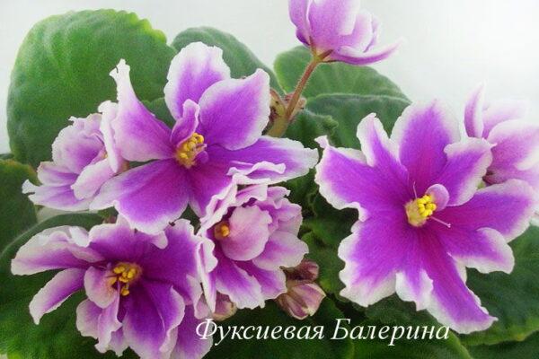Фиалка Фуксиевая Балерина (Е. Лебецкая) фото