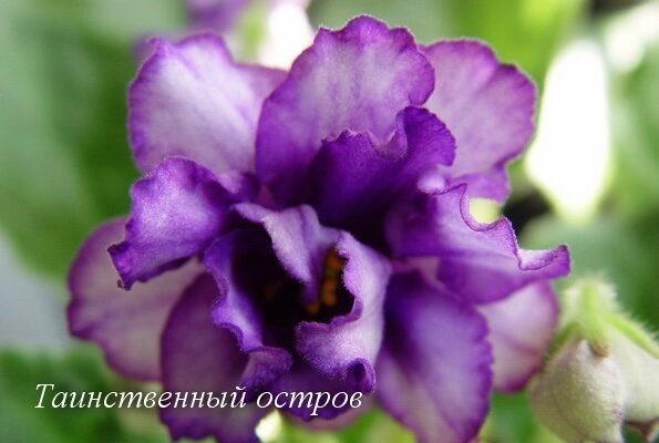 Фиалка Таинственный Остров (Е.В. Коршунова) фото