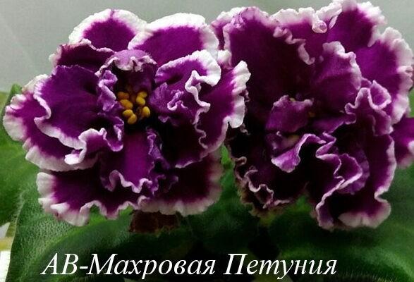 Фиалка АВ-Махровая Петуния (Фиалковод) фото
