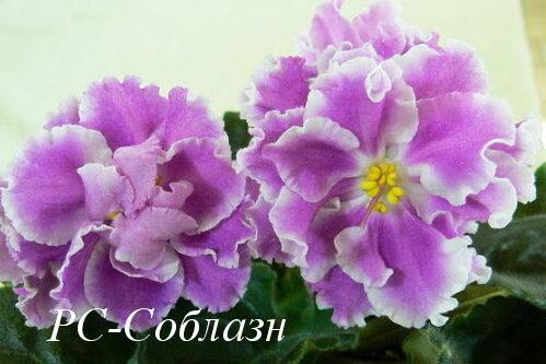 Фиалка РС-Соблазн (С. Репкина) фото