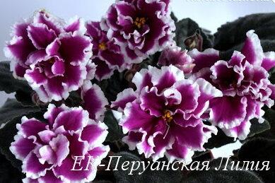 Фиалка ЕК-Перуанская Лилия (Е.Коршунова) фото
