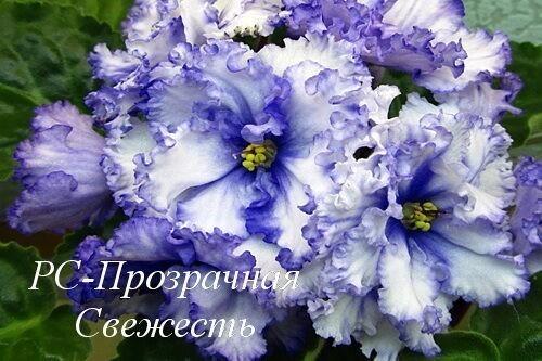 Фиалка РС-Прозрачная Свежесть фото