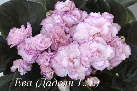 Фиалка Ева (Дадоян Т.Л.) фото