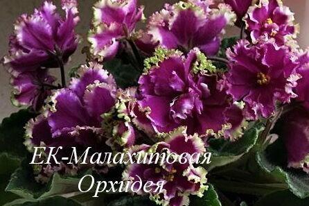 Фиалка ЕК-Малахитовая Орхидея (Е.В. Коршунова) фото