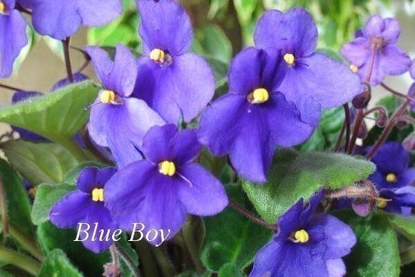 Фиалка Blue Boy (Armacost & Royston) фото