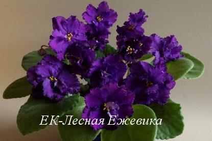 Фиалка ЕК-Лесная Ежевика (Е.Коршунова) фото