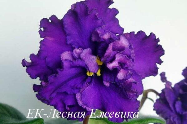 Фиалка ЕК-Лесная Ежевика (Е.Коршунова) фото1